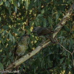 Ptilonorhynchus violaceus (Satin Bowerbird) at Uriarra Village, ACT - 13 Feb 2021 by BIrdsinCanberra