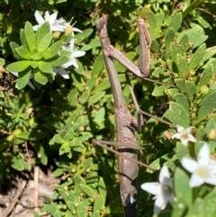 Archimantis latistyla (Stick Mantis, Large Brown Mantis) at Murrumbateman, NSW - 28 Feb 2021 by SimoneC