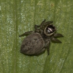 Hypoblemum griseum (A jumping spider) at Higgins, ACT - 15 Nov 2019 by AlisonMilton