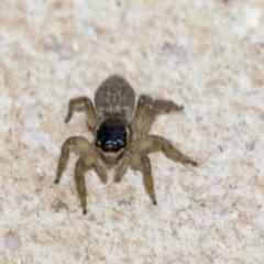 Hypoblemum griseum (A jumping spider) at Higgins, ACT - 26 Dec 2019 by AlisonMilton