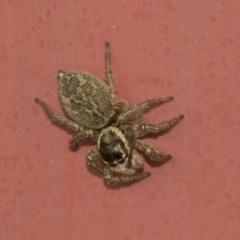 Hypoblemum griseum (A jumping spider) at Higgins, ACT - 28 Dec 2019 by AlisonMilton
