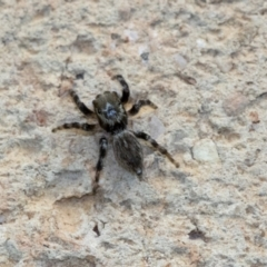 Hypoblemum griseum (A jumping spider) at Higgins, ACT - 1 Jan 2020 by AlisonMilton