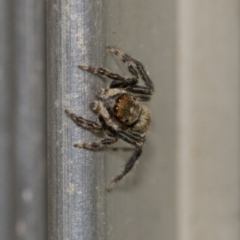 Hypoblemum griseum (A jumping spider) at Higgins, ACT - 28 Dec 2019 by AlisonMilton