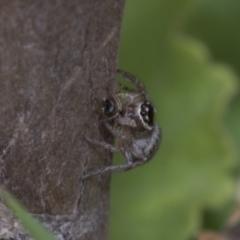Hypoblemum griseum (A jumping spider) at Higgins, ACT - 29 Dec 2019 by AlisonMilton
