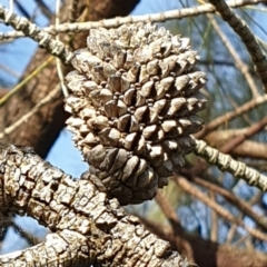 Allocasuarina verticillata (Drooping Sheoak) at Mount Painter - 23 Feb 2021 by drakes