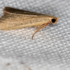 Ocrasa albidalis (A Pyralid moth) at Melba, ACT - 18 Feb 2021 by Bron