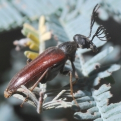 Euctenia sp. (genus) (Wedge-shaped beetle) at Gungaderra Grasslands - 28 Feb 2021 by Harrisi
