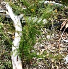 Dillwynia sp. at Gossan Hill - 26 Feb 2021 by goyenjudy