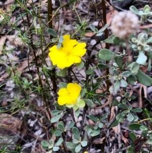 Hibbertia obtusifolia at Gossan Hill - 27 Feb 2021