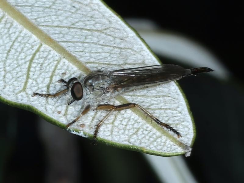 Cerdistus sp. (genus) at Ainslie, ACT - 28 Feb 2021