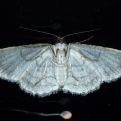 Didymoctenia exsuperata at Ainslie, ACT - 27 Feb 2021