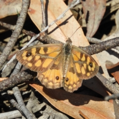 Geitoneura klugii (Marbled Xenica) at Paddys River, ACT - 28 Feb 2021 by MatthewFrawley