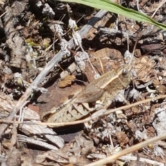 Unidentified Grasshopper (several families) (TBC) at Kaleen, ACT - 1 Mar 2021 by tpreston