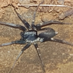 Zoridae sp. (family) (TBC) at Kaleen, ACT - 1 Mar 2021 by tpreston
