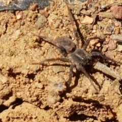 Unidentified Other hunting spider (TBC) at Kaleen, ACT - 1 Mar 2021 by tpreston