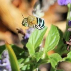 Amegilla (Zonamegilla) asserta (Blue Banded Bee) at Wodonga - 28 Feb 2021 by Kyliegw