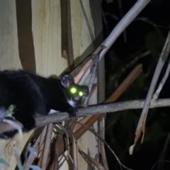Petauroides volans (Greater Glider) at Namadgi National Park - 28 Feb 2021 by Liam.m