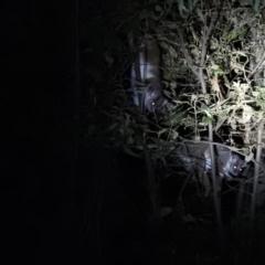 Pseudocheirus peregrinus (Common Ringtail Possum) at Namadgi National Park - 28 Feb 2021 by Liam.m