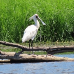 Platalea regia (Royal Spoonbill) at Jerrabomberra Wetlands - 1 Mar 2021 by RodDeb