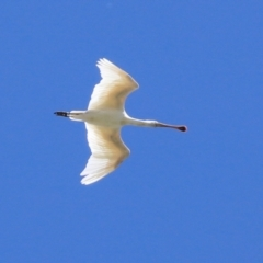Platalea flavipes (Yellow-billed Spoonbill) at Jerrabomberra Wetlands - 1 Mar 2021 by RodDeb