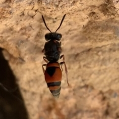 Eumeninae sp. (subfamily) (Unidentified Potter wasp) at Murrumbateman, NSW - 1 Mar 2021 by SimoneC