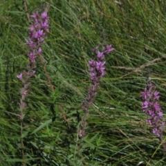 Lythrum salicaria (Purple Loosestrife) at The Pinnacle - 25 Feb 2021 by pinnaCLE