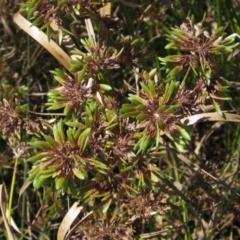 Cyperus eragrostis (Umbrella Sedge) at The Pinnacle - 25 Feb 2021 by pinnaCLE