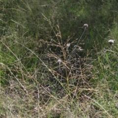 Eragrostis trachycarpa (Annual Love Grass) at The Pinnacle - 25 Feb 2021 by pinnaCLE