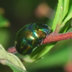 Callidemum hypochalceum (Dodonaea leaf beetle) at Karabar, NSW - 25 Feb 2021 by Harrisi