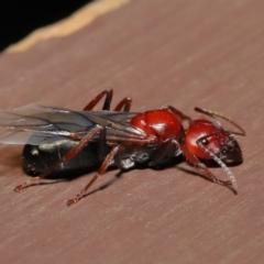 Camponotus sp. (genus) (A sugar ant) at Acton, ACT - 28 Feb 2021 by TimL