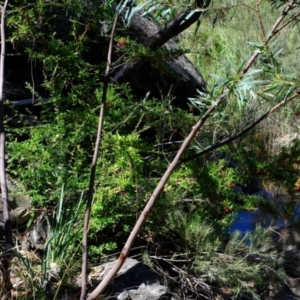 Pyracantha crenatoserrata at Molonglo Gorge - 1 Mar 2021