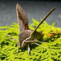 Hippotion scrofa (Coprosma Hawk Moth) at Googong, NSW - 27 Feb 2021 by WHall