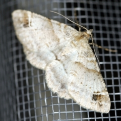 Syneora hemeropa (Ring-tipped Bark Moth) at O'Connor, ACT - 20 Jan 2021 by ibaird