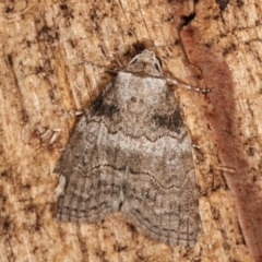 Calathusa sp nr dispila at Melba, ACT - 20 Feb 2021 by kasiaaus