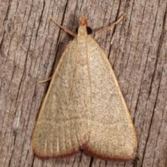 Ocrasa albidalis (A Pyralid moth) at Melba, ACT - 20 Feb 2021 by kasiaaus