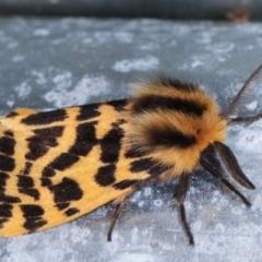 Spilosoma curvata (Crimson Tiger Moth) at Melba, ACT - 20 Feb 2021 by kasiaaus