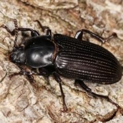 Meneristes australis (Darkling beetle) at Melba, ACT - 20 Feb 2021 by kasiaaus