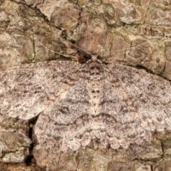 Ectropis fractaria (Ringed Bark Moth) at Melba, ACT - 20 Feb 2021 by kasiaaus