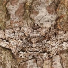 Unplaced externaria (Mahogany Bark Moth) at Melba, ACT - 20 Feb 2021 by kasiaaus