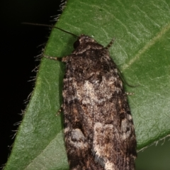 Thoracolopha flexirena (Zoned Noctuid) at Melba, ACT - 20 Feb 2021 by kasiaaus