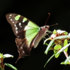 Graphium macleayanum (Macleay's Swallowtail) at ANBG - 1 Mar 2021 by RodDeb