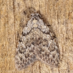 Nola (genus) (A Noctuid moth) at Melba, ACT - 20 Feb 2021 by kasiaaus