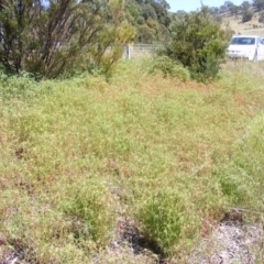 Euphorbia davidii (David's Spurge) at Forde, ACT - 2 Mar 2021 by MichaelMulvaney