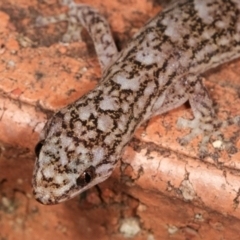Christinus marmoratus (Southern Marbled Gecko) at Melba, ACT - 20 Feb 2021 by kasiaaus