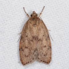 Heliocausta undescribed species (A concealer moth) at Melba, ACT - 20 Feb 2021 by kasiaaus