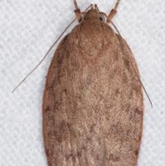 Garrha repandula (A Concealer moth) at Melba, ACT - 20 Feb 2021 by kasiaaus