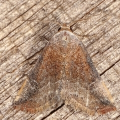 Mataeomera coccophaga (Brown Scale-moth) at Melba, ACT - 20 Feb 2021 by kasiaaus