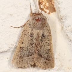 Pantydia sparsa ( A noctuid moth) at Melba, ACT - 21 Feb 2021 by kasiaaus