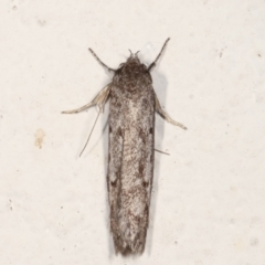 Oecophorinae (subfamily) (Unidentified Oecophorinae concealer moth) at Melba, ACT - 21 Feb 2021 by kasiaaus
