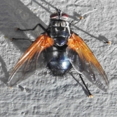 Chetogaster violacea/viridis (complex) (Bristle Fly) at Mount Ainslie - 1 Mar 2021 by JohnBundock